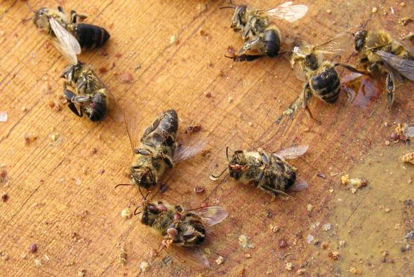 Tote Bienen - Varroa-Milben haben die Bienen ausgesaugt.