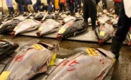 Tsukiji Fischmarkt - eine Auktion für Thunfisch