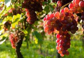Weinstöcke, Weinreben, Rosewein Schilcher