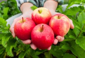 Junge Frau hält vier Äpfel in den Händen