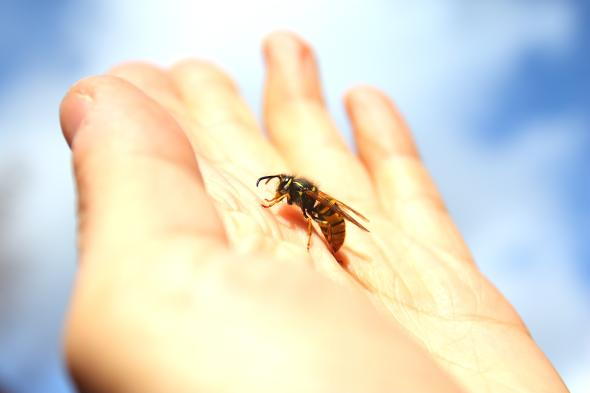 Wespen können mehrfach zustechen, da ihr Stachel glatt ist.
