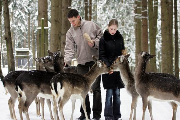 Wildfütterung in einem Tierpark im Winter, den Tieren gibt man Getreide.