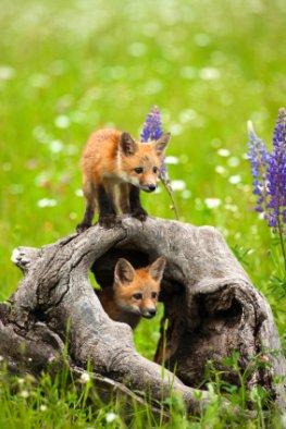 Wildtiere - junge Füchse im Nationalpark Eifel