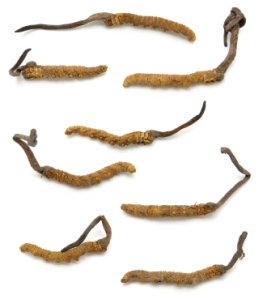 Yartsa gunbu - der Tibetische Raupenkeulenpilz