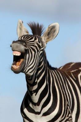 Zebras haben einen natürlichen Mückenschutz