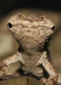 Ein Zwergchamäleon aus Madagaskar